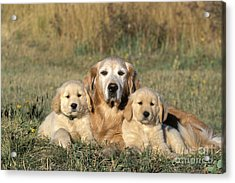 Golden Retriever With Puppies Acrylic Print