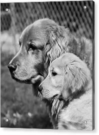 Golden Retrivers  Acrylic Print by Paulina Szajek