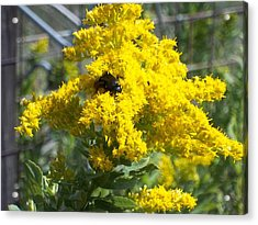 Golden Rod Acrylic Print by Rosalie Klidies