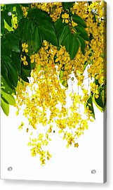 Golden Showers Flowers Acrylic Print by Darla Wood