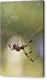 Golden-silk Spider Acrylic Print