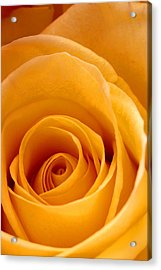Golden Strike Rose Acrylic Print