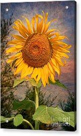 Golden Sunflower Acrylic Print by Adrian Evans