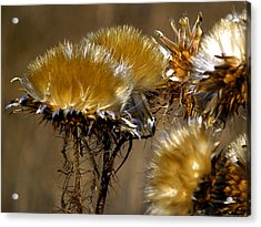 Golden Thistle Acrylic Print