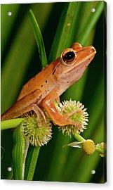 Golden Treefrog, Rhacophorus Acrylic Print