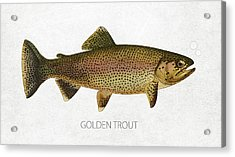 Golden Trout Acrylic Print by Aged Pixel
