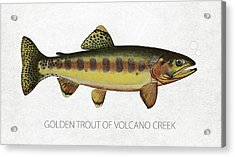 Golden Trout Of Volcano Creek Acrylic Print by Aged Pixel