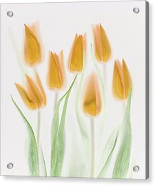 Golden Tulips Acrylic Print by Brian Haslam