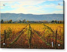 Golden Vineyards Acrylic Print by Lynn Hopwood