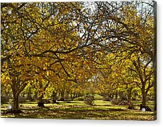 Golden Walnut Orchard Acrylic Print