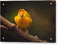 Golden Weaver Bird Acrylic Print by Maria Angelica Maira