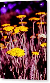 Golden Yarrow On A Blood Moon Night Acrylic Print by Dave Garner