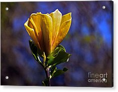 Golden Yellow Magnolia Blossom Acrylic Print by Byron Varvarigos