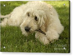 Goldendoodle Pup With Stick Acrylic Print by Anna Lisa Yoder
