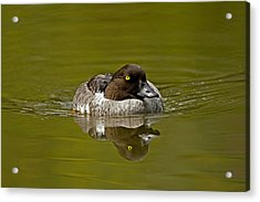Goldeneye Acrylic Print by Paul Scoullar