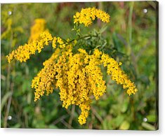 Acrylic Print featuring the photograph Goldenrod by Mary Zeman