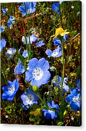 Goldfields And Baby Blue Eyes In Park Sierra-ca Acrylic Print by Ruth Hager