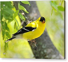 Goldfinch 299 Acrylic Print