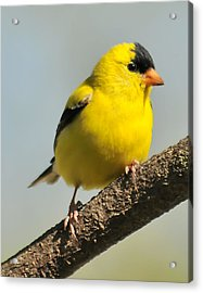 Goldfinch 306 Acrylic Print