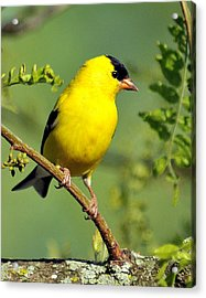 Goldfinch 328 Acrylic Print