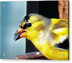 Goldfinch And Sunflower Seed Acrylic Print