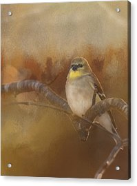 Resting Goldfinch Acrylic Print by Betty  Pauwels