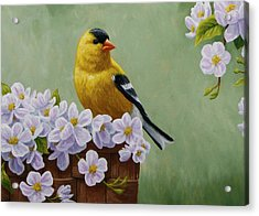Goldfinch Blossoms Greeting Card 3 Acrylic Print by Crista Forest