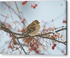 Goldfinch Brrrr Acrylic Print