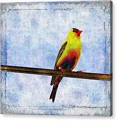 Goldfinch Acrylic Print by Cassie Peters