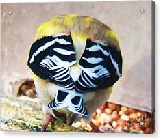 Goldfinch Feathers Acrylic Print