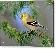 Goldfinch In A Fir Tree Acrylic Print