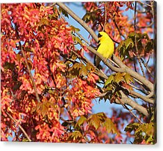Goldfinch In Spring Maple Tree Acrylic Print