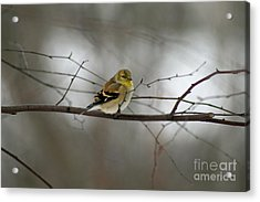 Goldfinch In Winter Looking At You Acrylic Print by Karen Adams