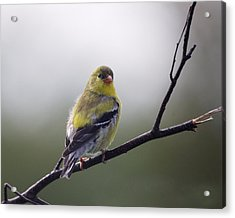 Acrylic Print featuring the photograph Goldfinch Molting To Breeding Colors by Susan Capuano
