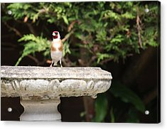 Goldfinch On Birdbath Acrylic Print by Gordon Auld