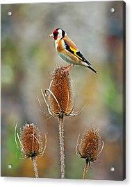 Goldfinch On Teasel Head. Acrylic Print