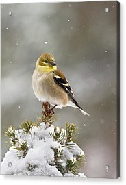 Goldfinch In The Snow Acrylic Print
