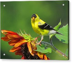 Goldfinch Pose Acrylic Print by Dianne Cowen