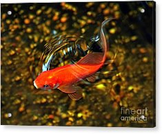 Goldfish Swimming Acrylic Print