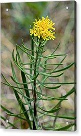 Goldilocks Aster (aster Linosyris) Acrylic Print by Bob Gibbons