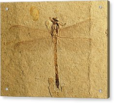 Gomphidae Dragonfly Fossil Acrylic Print