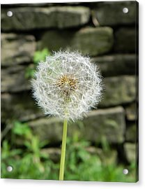 Gone To Seed Acrylic Print by Jean Goodwin Brooks