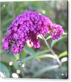 Good Morning Purple Butterfly Bush Acrylic Print