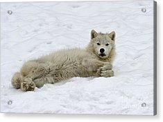 Good Wolfie ... Acrylic Print
