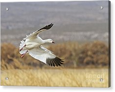 Goose Above The Corn Acrylic Print by Ruth Jolly