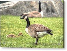 Goose And Gosling Afternoon Graze Acrylic Print by Deborah Smolinske