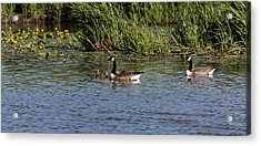 Acrylic Print featuring the photograph Goose Family In The Water by Leif Sohlman
