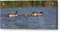 Acrylic Print featuring the photograph Goose Family by Leif Sohlman