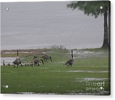 Goose Family Walk Acrylic Print by Joseph Baril