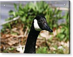 Goose Neck  Acrylic Print by John Holloway